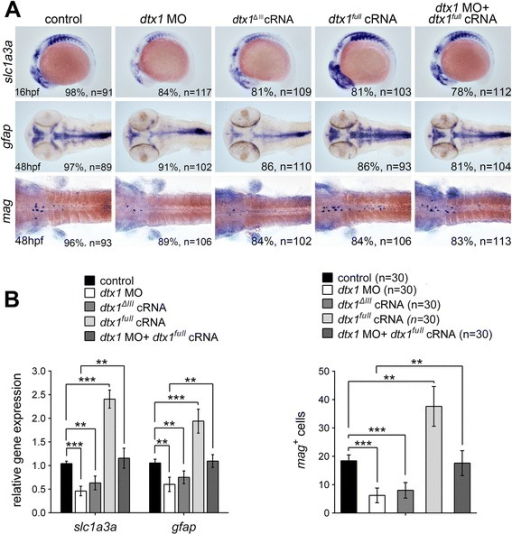 Dtx1 induces the expression of markers for glial precursors and mature glial cells. a Expression of slc1a3a, mag, and gfap was induced in embryos that overexpressed dtx1full. An injection with dtx1ΔIII or dtx1 morpholino downregulated slc1a3a, mag, and gfap expression, and this effect could be rescued by a concomitant injection of dtx1full cRNA. The embryo stages are shown in the bottom left corner of each panel. b qPCR analysis and cell count confirmed the results obtained through in situ hybridization shown in A. *, P < 0.05; **, P < 0.01; ***, P < 0.001