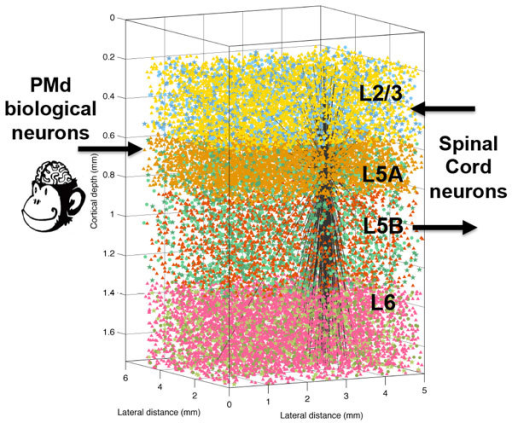 Model of primary motor cortex showing inputs from PMd biological neurons, and closed-loop interaction with virtual musculoskeletal arm. Cell types are shown with different colors. The output connections of a single L5A neuron are shown to illustrate connectivity.