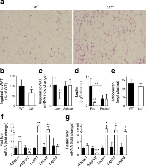 Reduced scWAT and plasma leptin concentrations in Lal-/- mice. (a) H&E staining of inguinal scWAT sections. (b) scWAT mass normalised to BW (n = 6). (c) mRNA expression of leptin (Lep) and adiponectin (Adipoq) in scWAT (n = 4–5). Plasma concentrations of (d) leptin and (e) adiponectin (n = 6). mRNA expression of the receptors of hepatic leptin (Leptr) and adiponectin (Adipor) in (f) fed and (g) 12 h fasted WT and Lal-/- mice (n = 3–5). Data represent means ± SD; *p < 0.05, **p ≤ 0.01; ***p ≤ 0.001, Student's unpaired t test. Mice were aged 12–16 weeks. Black bars, WT mice; white bars, Lal-/- mice