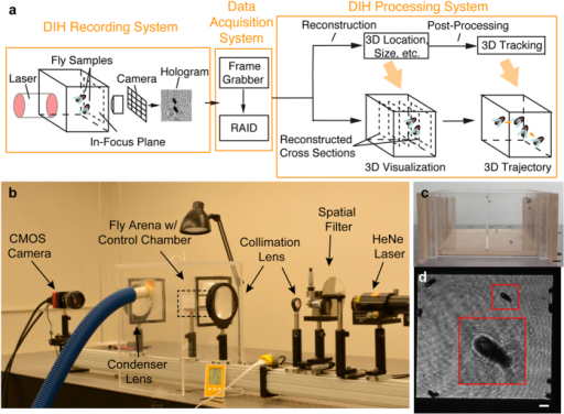 (a) A schematic of DIH imaging system with specific application to Drosophila. (b) DIH fly observatory setup with He-Ne laser, spatial filter, collimation lens, fly arena (marked by box) with environmental control chamber (with pipe connected to humidifier) and the CMOS camera. (c) Fly arena loaded with Drosophila and fly food in food trays on the right wall with 10 mm scale bar. Current system would allow simultaneous recording of control and experimental flies. (d) Camera view of the arena, an inset of a magnified holographic image of a fly marked on the front wall and a 2 mm scale bar.