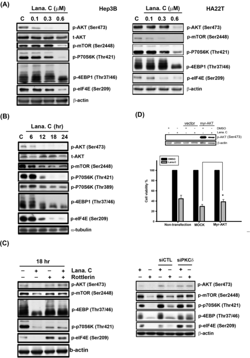 Effect of lanatoside C on AKT/mTOR pathway.(A) Hep3B and HA22T cells were treated with a range of lanatoside C (0.1–0.6 μM) for 18 h. (B) Hep3B cells were treated lanatoside C (0.6 μM) for indicated time (6–24 hr) and then cells were harvested from total lysates for observation of AKT/mTOR and their downstream signaling protein expressions by using Western blot analysis. (C) Hep3B cells were incubated with Lanatoside C (0.6 μM), rottlerin (5 μM) or PKCδ siRNA, or combination treatment for 18 h and then cells were harvested from total lysates for detection of indicated protein expressions by using Western blot analysis. (D) Hep3B cells were transfected with empty vector (MOCK) or Myr-AKT for 6 h and re-serum overnight, followed by treatment with or without lanatoside C (0.6 μM) for 18 h. Cells were harvested from total lysates for detection of phospho-AKT Ser473 protein expressions by using Western blot analysis. Cell viability was measured by MTT assay. Data are expressed as means ± SEM of three independent determinations. *P < 0.01, Myr-AKT-overexpressed cells versus MOCK-transfected cells.