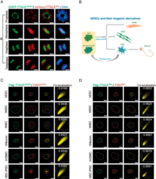 TTALE-mediated imaging of telomeres and centromeres in mitotic HeLa cells, hESCs, and the isogenic cell derivatives of hESCs. (A) Dynamic distribution of telomeres and centromeres at different stages of mitosis. Live HeLa cells co-expressing EGFP-TTALEcentro and mCherry-TTALEtelo were imaged at different mitotic phases. Scale bars, 5 μm. (B) Schematic diagram showing derivation of isogenic cell types from hESCs. hMSCs, hNSCs, and hVSMCs were differentiated from hESCs, and hNSCs were further differentiated into postmitotic neurons or reprogrammed into iPSCs. (C-D) Structured illumination microscopy (SIM) images showing co-localization of centromeric FISH (red) and Flag-TTALEcentro (green) (C) or telomeric FISH (red) and Flag-TTALEtelo (green) (D) signals in the indicated cell types. The number of each scatter plot represents the Pearson r value to show the linear correlation between FISH and TTALEtelo or TTALEcentro signals. Dashed lines indicate the nuclear boundary. Scale bars, 5 μm.