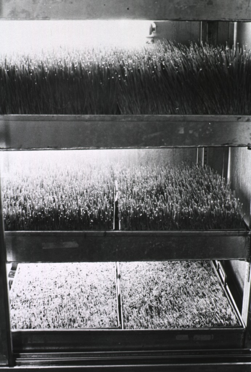 <p>Trays of a grass-like plant growing under controlled conditions.</p>
