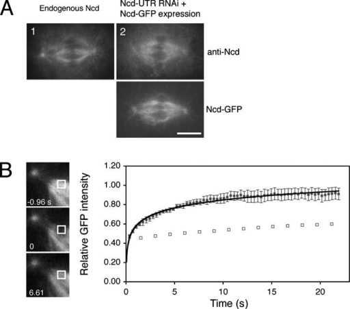FRAP studies of K fiber-associated Ncd-GFP. (A) Comparison of expression levels of Ncd-GFP with endogenous Ncd. A control wild-type cell (1) and a Ncd-GFP–expressing cell in which endogenous Ncd was selectively knocked down by RNAi against UTR region of endogenous Ncd gene (2) were stained with an anti-Ncd antibody. The immunofluorescence intensity of Ncd-GFP in 2 was similar to endogenous Ncd (1). Bar, 5 μm. (B) FRAP experiment reveals dynamic interaction of Ncd with K fiber. (Left) Ncd-GFP fluorescence in the subregion of K fiber (white square) was bleached. (Right) Fluorescence recovery after photobleaching of Ncd-GFP on K fiber. Mean value of relative GFP intensity is shown by square dots with standard deviation (n = 9). Relative GFP intensity was plotted at each time point after normalization using NBA as reference. GFP intensity before bleaching was adjusted to 1.00 (Materials and methods). Immobile fraction was <10% and half time of equilibrium was 2.5 ± 1.0 s, indicating a fast turnover of Ncd-GFP. A FRAP result of GFP-tubulin (subregion of K fiber) is also plotted (open square) and significant fluorescence recovery is not seen in this time range.