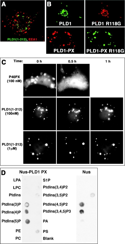 The PX domain mediates endosomal association independent of PI3 kinase products or lipid interactions, but may facilitate reentry through interaction with PI5P. (A and B) COS-7 cells were transiently transfected with wild-type or mutated full-length PLD1 or isolated PX domain constructs as shown in Fig. 2, and were processed as described in Fig. 1. (A) The isolated PLD1 PX domain localizes to cytosolic vesicles, but does not colocalize with EEA1 endosomes (or GM130, not depicted). Not depicted are similar results that were observed for the isolated domain and for the full NH2 terminus (1–212, which contains an extra 70 amino acids, as shown in Fig. 2). (C) COS-7 cells transiently transfected with p40 or PLD1 EGFP-PX domain constructs were followed over time after the addition of varying concentrations of wortmannin. (D) Purified bacterial Nus protein or Nus–PLD1 PX domain fusion protein was used to probe a set of phospholipids spotted on nitrocellulose strips, after which the proteins were detected using an anti-Nus mAb.