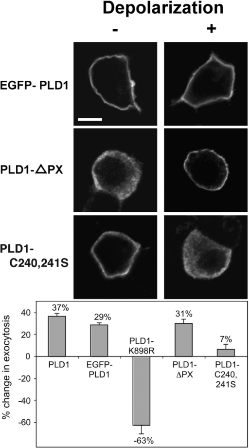 PLD1 localization affects regulated exocytosis in PC12 cells. PC12 cells were cotransfected with plasmids encoding hGH and tagged PLD1 alleles. 48 h after transfection, cells were incubated for 10 min in calcium-free Locke's solution (nondepolarized) or in 59 mM K+ solution (depolarized). (Top) Cells were immunostained to visualize the PLD1 protein by confocal microscopy. Bar, 5 μm. (Bottom) Assay for regulated exocytosis. The total GH content in control and PLD1-expressing cells was in the range of 5 ng/well. The net K+-evoked secretory response was obtained by subtracting the basal hGH release from the hGH release evoked by 59 mM K+. In these experiments, basal release ranged from 5.0 to 5.7%. The net K+-evoked GH release was 25.7% ± 0.4 from empty plasmid-transfected control cells, and, depending on the allele, ranged from 12.8 to 32.3% in PLD1-expressing cells. Finally, the net secretion under experimental conditions was divided by the net secretion in control cultures to estimate the percent change in regulated exocytosis. The experiments were performed twice in triplicate, and SEM is presented.