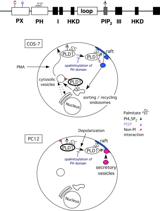 A model for regulated cycling of PLD1. See Discussion for details. In brief, in quiescent COS-7 cells, PLD1 localizes to a complex set of perinuclear and cytosolic vesicles (top schema, heavy black circle). This is mediated by a non-PI interaction by the PX domain, the palmitoylated PH domain, and weak interactions with PI4,5P2 by the central basic amino acid–rich motif, although the different domains most likely preferentially target distinct subpopulations of vesicles. In PC12 cells, a combination of PX domain interactions and interactions with PI4,5P2 suffice to recruit PLD1 to the PM (bottom schema, heavy black circle). With higher levels of stimulation, such as exposure to PMA for COS-7 cells, the PI4,5P2 interaction alone suffices to promote PM association. However, to reenter the cell with normal kinetics, PLD1 needs to enter into lipid rafts, and for this, the PH domain to be palmitoylated. Once in rafts, the PX domain association with the PM ceases; but a new PI-dependent interaction takes place, potentially through the binding of PX to PI5P, which facilitates translocation of PLD1 to vesicles internalizing through endocytosis. In PC12 cells, secretagogue-evoked stimulation (depolarization) recruits PLD1 into sites of active exocytosis, which are found in rafts and are marked by increased levels of PI4,5P2. Palmitoylation of the PH domain is similarly required for this recruitment, but once it happens, the PX domain interaction is no longer required for membrane association or for PLD1 functional promotion of exocytosis. How PLD1 returns to its original location remains to be determined.