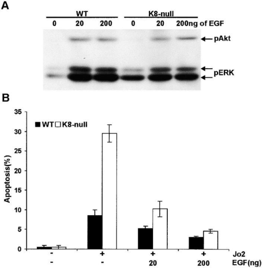The EGF-signaling pathway is not involved in the protection by K8/K18 against Fas-mediated apoptosis. (A) At a dose of 20 or 200 ng/dish, EGF activation of ERK and Akt, as determined by the phosphorylation level of Thr 202/Tyr 204 (ERK) and Ser 473 (Akt), occurs essentially to identical levels in both WT and K8- hepatocytes. (B) Increasing the EGF concentration to 200 ng/dish decreased the Fas-induced apoptosis of K8- hepatocytes to a level comparable to that of WT hepatocytes.