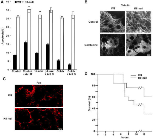 The protection of hepatocytes by colchicine against Fas-mediated apoptosis is lost when K8/K18 are lacking. (A) Colchicine addition (1 μM; 24 h before Jo2 stimulation) in primary culture protects WT but not K8- hepatocytes against Jo2 (0.5 μg/ml) added in the presence or absence of 0.5 μg/ml Act D for 8 h; the addition of γ-lumicolchicine (1 μM) has no effect. (B) Immunostaining data showing that the colchicine concentration used (1 μM for 24 h) disrupts the microtubule network in both WT and K8- hepatocytes. (C) Immunofluorescence on WT and K8- hepatocytes treated with colchicine (1 μM for 24 h), showing that Fas is maintained in the cytoplasm of WT hepatocytes, whereas it is still mostly localized at surface membrane in K8- hepatocytes. (D) In vivo injection of colchicine (400 μg/kg) 24 h before Jo2 treatment protects WT mice against a lethal dose (200 μg/kg) of Jo2. This protection is reduced in K8- mice. n = 13. Bars, 10 μm.