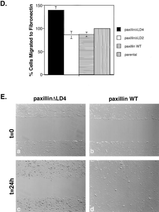 Overexpression of paxillinΔLD4 affects the protrusive activity and motility of cells. (A) PaxillinΔLD4, paxillin WT, and parental nontransfected CHO.K1 cells were plated on fibronectin (2 μg/ml), and motility was analyzed by time-lapse video microscopy. PaxillinΔLD4 cells were much more dynamic than paxillin WT and parental nontransfected cells, extending multiple lamellipodia (arrows). Long retraction fiber-like extensions were also observed (arrowhead). (B) Quantification of protrusiveness demonstrates an increase in cell area (in μm2) of paxillinΔLD4 cells, as compared with paxillin WT and parental nontransfected cells. (C) Quantification of random motility on fibronectin (2 μg/ml) demonstrates an increase in locomotion (in μm/hr) in paxillinΔLD4 cells, as compared with paxillin WT and parental nontransfected cells. (D) Quantification of random motility to fibronectin (10 μg/ml) reveals a striking increase in the percentage of paxillinΔLD4 cells migrating to immobilized fibronectin, as compared with paxillin WT, paxillinΔLD2, and parental nontransfected cells. Values are the average of modified Boyden chamber assays performed in quadruplicate. The migration of parental nontransfected CHO.K1 cells was set to 100%, and the other cell types were measured against this value. (E) Scrape wound assays using paxillinΔLD4 and paxillin WT cells plated in 35-mm tissue culture dishes in complete media at a confluent density and scored with a micropipet tip demonstrate that, although paxillin WT cells are able close the wound, paxillinΔLD4 are severely retarded in this capacity. The images are representative of experiments performed in triplicate.