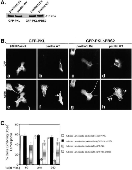Introduction of PKLΔPBS2 mutant recapitulates the paxillinΔLD4 phenotype in paxillin wild-type cells. (A) Western blot analysis using GFP polyclonal antisera was used to confirm the presence of the ectopic GFP–PKL and PKLΔPBS2 after transient transfection of these constructs into paxillinΔLD4 and paxillin WT cells. (B) PaxillinΔLD4 and paxillin WT cells were transiently transfected separately with GFP–PKL or GFP–PKLΔPBS2, detached, and subjected to spreading assays on fibronectin for 60, 240, and 360 min. Transfected cells were then visualized by GFP fluorescence (a–d) and actin by RITC-phalloidin (e–h) and demonstrate that the introduction of PKLΔPBS2 into paxillin WT cells causes a transition to a paxillinΔLD4-like morphology. Arrow and arrowhead in f and h, respectively, demonstrate the lack of effect GFP–PKL has on paxillin WT cells, compared with the generation of broad lamellipodia induced by introduction of GFP–PKLΔPBS2. The double arrow in h indicates the presence of retraction fiber–like extensions in paxillin WT cells expressing GFP–PKLΔPBS2, similar to those observed in paxillinΔLD4 cells. Images of the cells were taken from the 240-min time point and are representative of the differences in cell morphology observed at all time points. (C) Quantification of morphological change was assessed by counting >200 cells per time point and demonstrate that the introduction of GFP–PKLΔPBS2 into paxillin WT cells recapitulates the paxillinΔLD4 phenotype, whereas GFP–PKL has relatively no affect. Values are the average of experiments performed in triplicate.