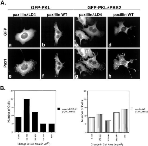 Introduction of PKL and PKLΔPBS2 mutants does not affect paxillin localization to focal contacts, but PKLΔPBS2 does affect cell protrusiveness. (A) PaxillinΔLD4 and paxillin WT cells were transiently transfected separately with GFP–PKL or GFP–PKLΔPBS2, detached, and subjected to spreading assays on fibronectin for 60, 240, and 360 min. Transfected cells were then visualized by GFP fluorescence (a–d) and ectopic paxillin by Pax1 immunofluorescence (e–h). Immunofluorescence analysis demonstrates that the introduction of GFP–PKL and GFP–PKLΔPBS2 into paxillinΔLD4 and paxillin WT cells does not affect paxillin localization to focal contacts. Images of the cells were captured at the 240-min time point and are representative of the differences in cell morphology observed at all time points. (B) Quantification of protrusiveness demonstrates an increase in cell area (μm2) of CHO.K1 cells transfected with PKLΔPBS2 (left), as compared with parental nontransfected cells (Fig. 3 B, bottom). This observed increase in cell area is elevated by the cointroduction of paxillin and PKLΔPBS2 (right).