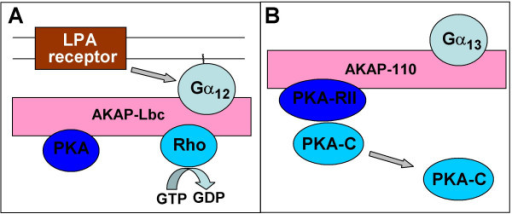 Schematic representation of Gα12/Gα13-containing signaling complexes assembled by A-kinase anchoring proteins (AKAPs): AKAP-Lbc (A) and AKAP-110 (B). See main text for details and references.