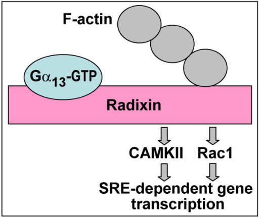 Signaling from the Gα13-radixin complex.
