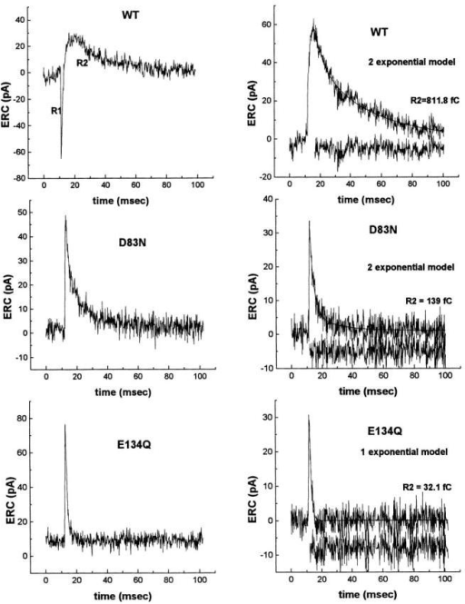 Comparison of ERC signals in WT, D83N, and E134Q human rhodopsins. The first ERC response to a 500-nm flash stimulus after primary regeneration (left) and after secondary recovery (right) is shown for WT human, D83N, and E134Q rod rhodopsin. In comparison with the WT pigment, D83N and E134Q lack R1 signals on the primary extinction series. D83N has a simpler R2 kinetic relaxation and loses the stretched exponential characteristic seen in the WT ERC, whereas the E134Q ERC is a simple outward current of short duration that is well fit by a single exponential. Attempts were made to fit single, double, or triple exponential models to secondary ERC R2 relaxations. If each exponential corresponds to a unique rate leading from a particular electrical state (Markovian), the WT and D83N R2 relaxations are reliably fit by the sum of two exponentials, consistent with three unique electrical states, whereas the single exponential fitting of the E134Q R2 relaxation suggests a two-state model. Residuals are shown beneath each fitted R2 waveform. R2 relaxations were fit with double (A, B > 0) or single exponential models (B = 0) of the form: ERCt=A·e−t−t0τa+B·e−t−t0τb, where τa and τb and A and B are the time constants and weights of the fitted exponentials, and to is the time at which fitting was initiated (just after the peak of R2).