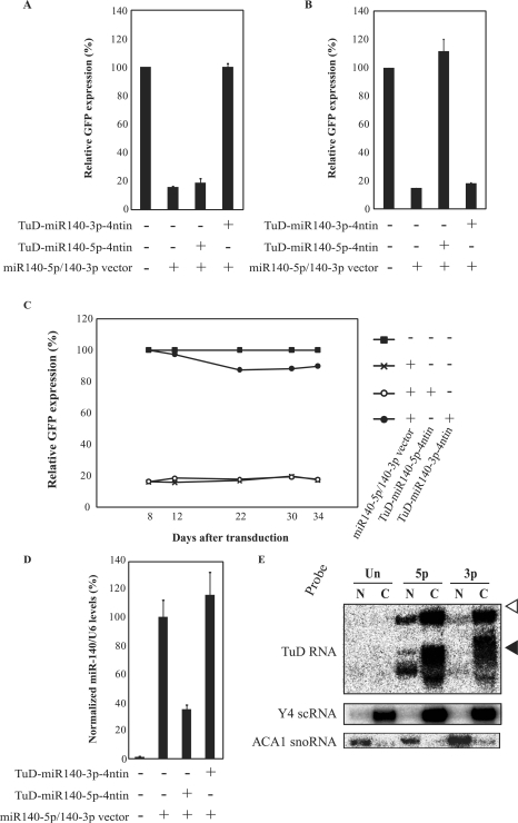 Generality, specificity and duration of the inhibitory effects of TuD RNA. (A) Effects of TuD-miR140-5p-4ntin or TuD-miR140-3p-4ntin on miR-140-3p activity detected by the GFP reporter cell system as shown in Table 1, except that the GFP expression levels were determined at 8–12 days post-transduction (Supplementary Figure S3D and E). (B) Effects of TuD-miR140-5p-4ntin or TuD-miR-140-3p-4ntin on miR-140-5p activity. HeLaS3 cells harbouring both the miR-140-5p reporter and the miR140-5p/140-3p vector were transduced with the lentivirus vectors expressing the corresponding TuD RNAs and the GFP expression levels were determined at 8–12 days post-transduction. The expression levels were normalized to those of HeLaS3 cells harbouring miR-140-5p reporter alone and are represented by the mean ± SEM (n = 3). (C) Time course of the inhibitory effects of TuD-miR140-3p-4ntin on miR-140-3p activity. Relative GFP expression levels were determined as shown in Table 1. (D) Levels of mature miR-140-5p in the cells described in (B) determined by quantitative real-time RT-PCR. The miR-140-5p expression levels were normalized to those of HeLaS3 cells harbouring both the miR-140-5p reporter and the miR140-5p/140-3p vector and are represented by the mean ± SEM (n = 3). U6 snRNA was served as an endogenous control. (E) Analysis of the sub-cellular localization of TuD RNAs. The migration positions of Y4 small cytoplasmic RNA (Y4 scRNA, 93 nt) and ACA1 small nucleolar RNA (ACA1 snoRNA, 130 nt) on the same gel are indicated by black and open triangles, respectively. Y4 scRNA and ACA1 snoRNA were served as marker RNAs of cytoplasmic and nuclear fractions, respectively. Un, untransduced cells; 5p, TuD-miR140-5p-transduced cells; 3p, TuD-miR140-3p-transduced cells; N, nucleus; C, cytoplasm.