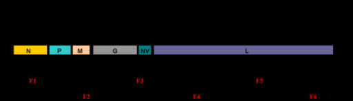 Genetic map of the IHNV genome and cDNA clones used for sequence analysis. The location and relative size of the IHNV ORFs are shown; the numbers indicate the starts and ends of the respective ORFs. Six cDNA fragments (F1 to F6) were synthesized from the genomic RNA by RT-PCR. The primers used for RT-PCR fragments are shown at the end of each fragment. The RNA genome is 11,133 nucleotides long and contains a leader (L) and trailer (T) sequences at its 3'-end and 5'-end, respectively. The coding regions of N, P, M, G, NV and L genes are separated by intergenic sequences, which have gene-start and gene-end signals.