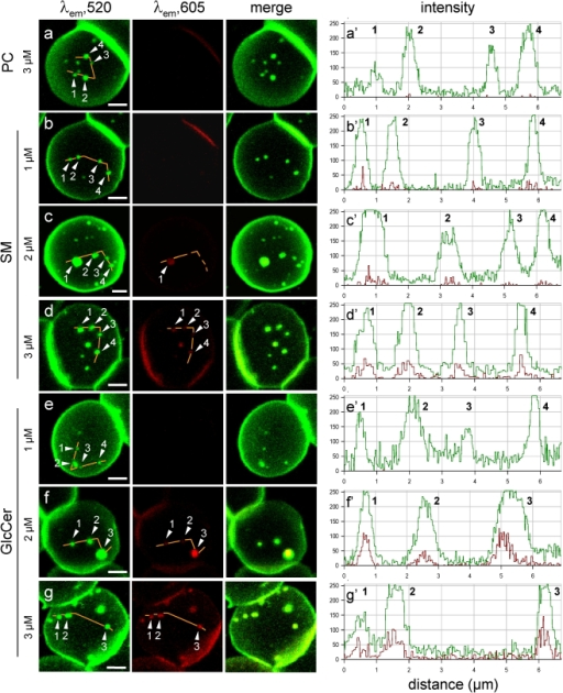 In living erythrocytes, BODIPY-SLs, but not BODIPY-PC, exhibit differential spectral shift at high concentration.Left, confocal imaging. Freshly isolated erythrocytes were labelled as at Fig. 1, using BODIPY-PC (a), -SM (b-d) or -GlcCer (e-g) at 1 µM (b,e), 2 µM (c,f) or 3 µM (a,d,g), washed and immediately examined by confocal microscopy at 20°C (a-d) or 37°C (e-g). Images were all generated with λexc 488 nm, with simultaneous recording in the green (left; λem 520 nm) and red channels (middle; λem 605 nm), then merged (right). Note that yellow signal in merged images, indicative of ordered clustering (excimers), is essentially absent at 3 µM for BODIPY-PC, weak for -SM and strong for -GlcCer. All scale bars, 2 µm. Right, quantitation of conventional and excimer emission. Intensity profiles were recorded along the paths indicated by the continuous orange lines at left; due to different settings, the minimal baseline values cannot be compared with other figures. Numbers #1-4 refer to the indicated patches. Average red/green emission ratio for BODIPY-SM is <20% at 3 µM (d′), but already >30% for BODIPY-GlcCer at 2 µM (f′).