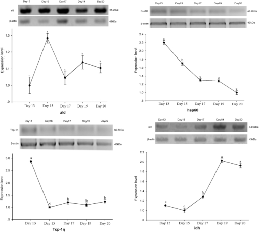 Western blot analysis of ald, hsp60, Tcp-1η and idh.y-axis represents relative expression level normalized by β-actin, x-axis represents different development stages on day 13, 15, 17, 19 and 20, accordingly. Different letters (a, b, c) are significantly different (p<0.05).