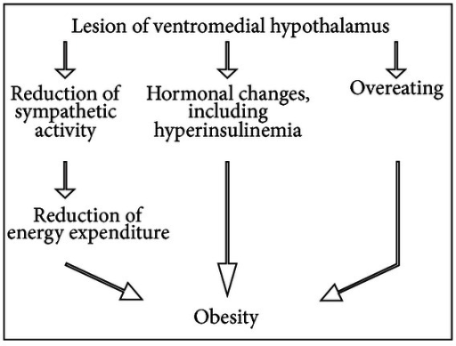 Changes in energy expenditure induced by lesion of the ventromedial hypothalamus.