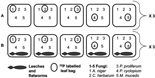 Experimental design.Two experimental sets (A = detritivores only and B = detritivores with predators) in triplicate, six enclosure/exclosure cages in total. Each replicate set included 5 leaf sacks (black squares), each containing 5 leaf bags individually inoculated with different pure fungus strains (1–5). In each leaf sack only one leaf bag was labelled with 32P (circled number).