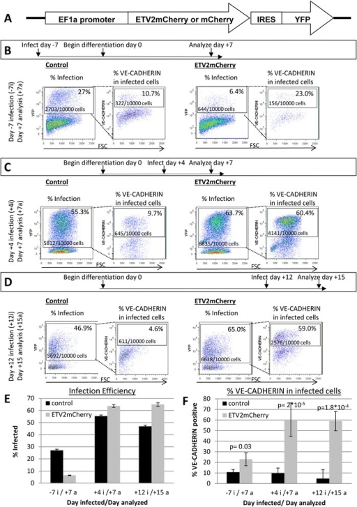 Introduction of exogenousETV2increases the percentage of endothelial cells generated during differentiation. (A) Construct used to generate virus for introduction of ETV2 to hESC. (B–D) Flow cytometry for YFP and VE-CADHERIN. Left panels of each subset show YFP expression in infected cells. Right panels of each subset show VE-CADHERIN expression within YFP+ population. Percentages represent an average from three (B, D) or six experiments (C) and cell counts represent and average from three (B,D) or four experiments (C). Cells were infected/analyzed on days −7i/+7a (B), +4i/+7a (C), and +1i2/+15a (D). Cell counts and percentages are calculated from cells gated to be non-debris, alive, and single cells. (E) Graphical summary of flow cytometry for infection efficiency in cells infected and analyzed on days indicated. Error bars indicate standard deviation. (F) Graphical summary of results of flow cytometry for VE-CADHERIN of YFP expressing virally infected cells. Error bars indicate standard deviation.