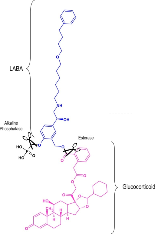 An example of a conjugated inactive long-acting β2-adrenoceptor agonist glucocorticoid pro-drugA phosphorylated form of salmeterol (blue) is shown conjugated to a derivative of the glucocorticoid, desisobutyryl-ciclesonide (pink). In vivo, the phosphate and ester bonds (in black) are cleaved (scissors) by alkaline phosphatase and esterases respectively to yield the active components in a 1:1 ratio. Adapted from [97].Abbreviations: LABA, long-acting β2-adrenoceptor agonists.