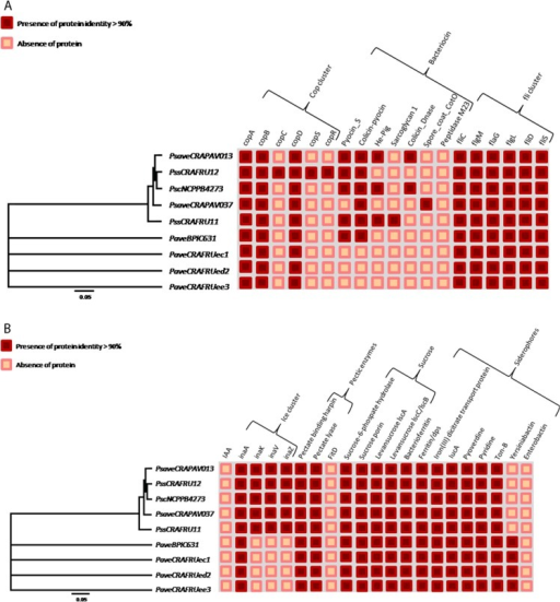 Presence/absence of putative homolog proteins in nine pseudomonad strains infecting Corylus avellana trees.The indication concerns the presence of copper resistance genes, bacteriocins, and the flagellin cluster (A), and ice nucleation activity, pectic enzymes, sucrose metabolism, and siderophores (B). Strain legend is shown in Table 1.