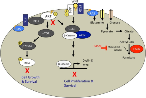 FASN inhibition blocks metabolic and signal transduction pathways vital to cancer cell growth, proliferation, and survival. FASN inhibition results in inhibition of Akt and S6 phosphorylation in the AKT–mTOR signal transduction pathway. In the Wnt–β-catenin pathway, FASN inhibition results in the inhibition of Lrp6 and β-catenin phosphorylation as well as the expression of TCF promoter-driven genes such as c-Myc. FASN inhibition impairs the plasma membrane localization of palmitoylated and other lipid-raft-associated proteins such as N-Ras. Our data fit a model whereby the disruption of lipid rafts and mislocalization of membrane-associated proteins can drive inhibition of signaling through cellular growth and survival pathways such as AKT–mTOR and Wnt–β-catenin. Signal transduction through molecules such as K-Ras or pathways such as AKT–mTOR is tightly linked with tumor cell metabolism of glucose and glutamine as well as lipid biosynthesis.