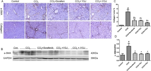 Effects of YGJ and iYGJ on CCl4-induced activation of HSC. a Immunohistochemistry of liver sections for α-SMA and collagen I (200×). b Intensity of collagen I (A, below) was assessed by image analysis. n = 5. c Western blot quantified protein expression of α-SMA. GAPDH expression was a control for equal protein loading. d Quantification of band intensities of expressed proteins. n = 3. Quantitative data were reported as means ± SD. #, compared to control group P < 0.05; *, compared to CCl4 model group P < 0.05