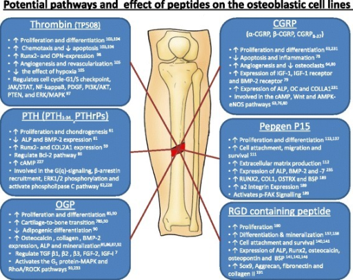 Potential pathways and effect of peptides on the osteoblastic cell lines