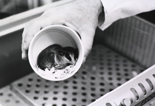 <p>A hand holding a cup with a marsupial in it; the cup is being removed from an incubator.</p>