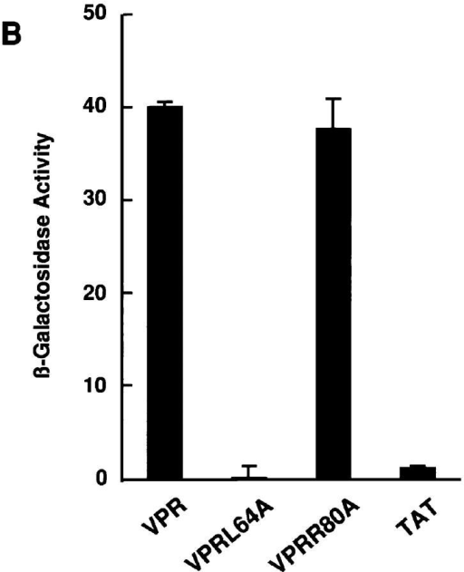 (A) Vpr can be directly associated with hGRα. In vitro– translated hGRα and glutathione beads–immobilized GST-Vpr, GST-VprL64A, or GST were incubated in the presence of 10−6 M dexamethasone and/or 10−5 M RU 486. Lane 1, 1/10 vol of 35S-labeled hGRα was  applied. (B) Interaction of Vpr with the GR in the yeast two hybrid assay.  Yeast cells were transformed with lacZ reporter plasmid pSH18-34,  pLexA-Vpr (wild-type or mutants L64A, R80A), and pJG45-GRα coding for the galactose-inducible GRα-activation domain fusion. LexA-Tat  was used as a negative control. β-galactosidase activity was stimulated by  Vpr but not VprL64A. β-galactosidase activity of yeast cells grown with  glucose rather than galactose was for all strains much less than the activity  produced by GR-LexA-Tat interaction viewed by us as a background value. (C) Coactivator function of Vpr, FLAG-Vpr, and FLAG-Vpr(36–96). A204  cells were transfected with different amounts of pCDNA3-VPR, pCMV-FLAG-VPR, or pCMV-FLAG-VPR(36–96), and pMMTV-luc. Each point  shows the mean ± SEM values obtained in the presence of 10−7 M dexamethasone. *P < 0.001. (D and E) Vpr, VprL64A, FLAG-Vpr, and FLAG-Vpr(36–96) expressed and detected by Western blot in A204 cells using anti-Vpr or anti-FLAG (M2) antibody. A204 cells were transfected with  pCDNA3 (control), pCDNA3-VPR, or pCDNA3-VPRL64A, and Vpr was detected after immunoblotting by using HIV-1NL4-3 Vpr antiserum (D).  FLAG-Vpr or FLAG-Vpr(36–96) was detected by using anti-FLAG antibody (E).