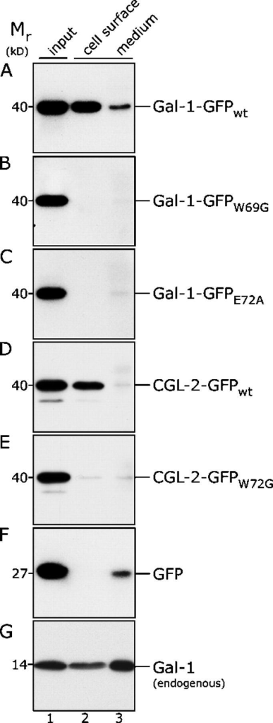 Biochemical analysis of export of various galectin–GFP fusion proteins from CHO cells using cell surface biotinylation and immunoprecipitation from cell culture supernatants. The fusion proteins indicated were expressed in CHO cells for 48 h at 37°C (six-well plates; 70% confluency). The medium was removed and subjected to immunoprecipitation using affinity-purified anti-GFP antibodies. Cell surfaces were treated with a membrane-impermeable biotinylation reagent. After detergent-mediated cell lysis biotinylated and nonbiotinylated proteins were separated using streptavidin beads. Aliquots from the input material (lane 1; 1%), the biotinylated fraction (lane 2; 10%) and the immunoprecipitate from the cell culture medium fraction (lane 3; 50%) were analyzed by SDS-PAGE and Western blotting using affinity-purified anti-GFP antibodies. In G, affinity-purified anti–Gal-1 antibodies were used to detect endogenous Gal-1. For further details see Materials and methods.