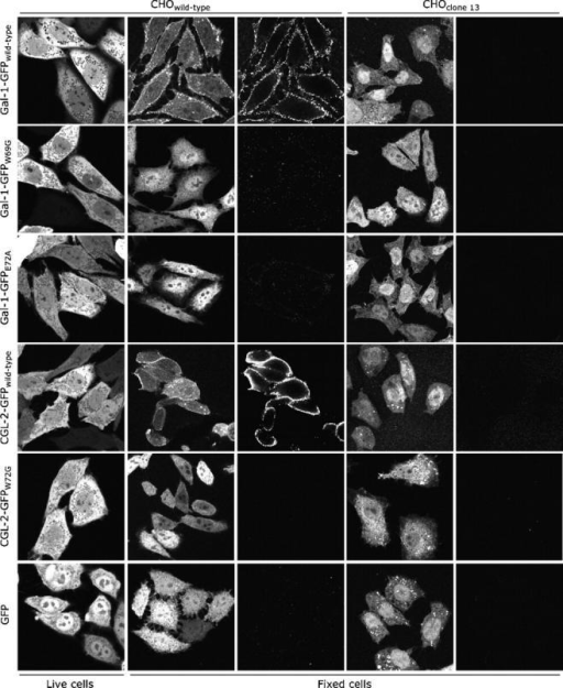 Subcellular distribution of Gal-1–GFP and CGL-2–GFP reporter molecules in CHO wild-type and CHO clone 13 cells as revealed by confocal microscopy. First row, Gal-1–GFP; second row, Gal-1–GFPW69G; third row, Gal-1–GFPE72A; forth row, CGL-2–GFP; fifth row, CGL-2–GFPW72G; sixth row, GFP. First column, GFP live imaging; second column, GFP imaging of fixed CHO wild-type cells; third column, cell surface staining of fixed CHO wild-type cells using affinity-purified anti-GFP antibodies; fourth column, GFP imaging of fixed CHO clone 13 cells; fifth column, cell surface staining of fixed CHO clone 13 cells using affinity-purified anti-GFP antibodies.
