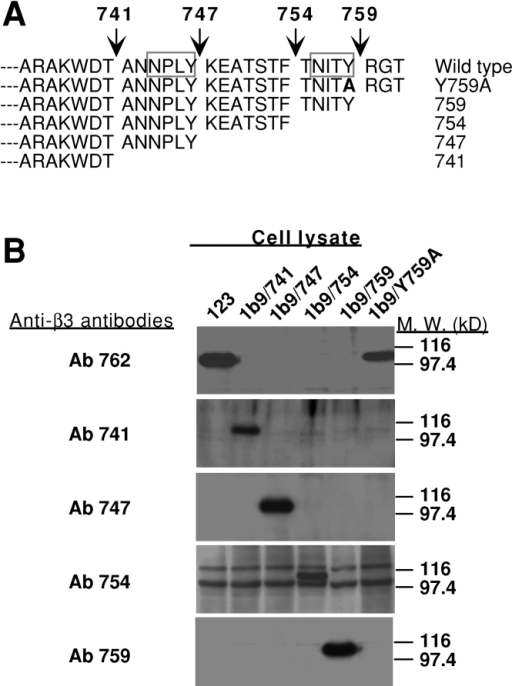 Truncation mutants of αIIbβ3 coexpressed with GPIb-IX in CHO cells. (A) Schematics showing truncation mutants of β3 that mimic calpain cleavage at four previously identified sites. A Y759A point mutation is also depicted. (B) The mutants described in A were cotransfected with αIIb in a CHO cell line already expressing GPIb-IX, and stable cell lines were established. Expression of correct truncation mutants in each of the cell lines was verified by immunoblotting cell lysates with antibodies specifically recognizing calpain-cleaved forms of β3 (Ab 741, Ab 747, Ab 754, and Ab 759) and with an antibody recognizing the COOH terminus of β3 (Ab 762). A cell line expressing wild-type αIIbβ3 and GPIb-IX (123) was also immunoblotted with these antibodies as a control. (C) Levels of surface expression of wild type or mutants of αIIbβ3 were examined by flow cytometry with an antibody recognizing αIIbβ3 complex (D57) (dotted lines), and levels of GPIb-IX expression were examined with an antibody against GPIbα, SZ2 (shaded lines). Nonspecific mouse IgG was used as a negative control (solid lines). Please note that levels of expression of each of these mutants were comparable with 123 cells. Expression of GPIb-IX and integrin was also comparable with a cell line expressing GPIb-IX alone (1b9) and a cell line expressing αIIbβ3 alone (2b3a), respectively.