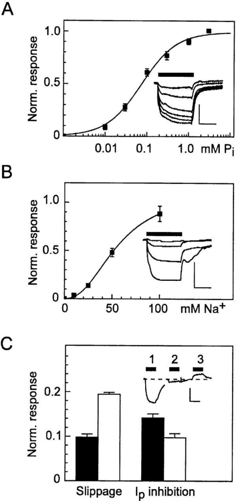 Steady state kinetics of oocytes expressing S460C. (A) Pi dose response determined from original records such as shown in the inset (scale: vertical, 50 nA; horizontal, 10 s) at 100 mM Na+. Data points are pooled from four oocytes from the same batch.  was fit to the dose–response data for each cell and the data points were normalized to the predicted maximum current. Continuous line is refit of  to the pooled data, giving a Hill coefficient, nPi = 1.04 ± 0.07 and apparent Pi affinity, KmPi = 0.081 ± 0.01 mM. (B) Na+ dose response determined from original records such as shown in the inset (scale: vertical, 50 nA; horizontal, 10 s), at 1 mM Pi. Data points are pooled from three oocytes from the same batch. Data were treated as in A. Fit of  (continuous line) gave a Hill coefficient nNa = 2.35 ± 0.21 and apparent Na+ affinity KmNa = 56.3 ± 4.0 mM. (C) Effect of PFA on the slippage mode (left) and cotransport mode (right) for WT (filled bars) (n = 9) and S460C (open bars) (n = 5). Inset shows an original recording from a cell expressing S460C: (1) response to 0.3 mM Pi, (2) response to 0.3 mM Pi and 3 mM PFA, (3) response to 3 mM PFA. Traces have been aligned to the baseline current in the absence of substrate (dashed line). For the slippage mode assay, bars represent the ratio of trace 3 response to trace 1 response. For cotransport mode assay, bars represent the ratio of trace 2 response to trace 1 response, both relative to the level in the presence of PFA alone (trace 3).