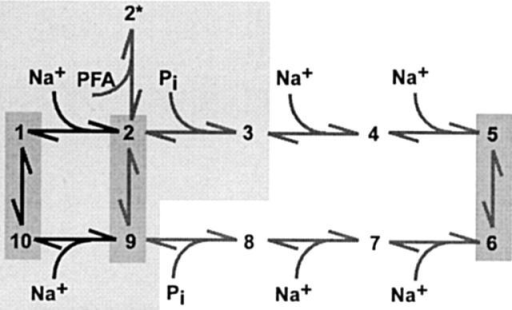 Kinetic Scheme for Type II Na+/Pi Cotransport. States occupied in the cis (outward facing) orientation are 1–5. States occupied in the trans (inward facing) orientation are 6–10. The three modes of operation that involve transmembrane reorientation, as revealed by steady state and pre–steady state studies of WT, are indicated by dark shading: empty carrier (10 ⇔ 1), slippage (2 ⇔ 9), and cotransport (5 ⇔ 6). At least two voltage-dependent transitions have been identified: empty carrier (10 ⇔ 1) and first external Na+ binding/release step (1 ⇔ 2). The voltage dependence of the last Na+ binding/release step on the trans side (9 ⇔ 10) has not been characterized. PFA binding places the system in state 2*, which when occupied prevents the slippage and cotransport modes. The lightly shaded region indicates those transitions and associated states that have been shown to remain intact after alkylation. In addition, the zero voltage rate constants for the empty carrier mode increase after alkylation (see text).