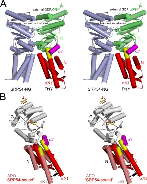 Model of domain rearrangement in Pfu-FtsY upon its interaction with SRP54.(A) The overall structure of the Pfu model is based on the structure of the Taq-FtsY•FfhNG. For Pfu-FtsY, the N and G domain have been colored red and green respectively except for the αN1 and α7 terminal helices highlighted in red and pink. The stretch of basic aminoacids present at the N terminus of αN1 (yellow) clashes with α7. For the N domain, the DX4ELEX2LX3D motifs (Glu47-Asp61 (Pfu) on Glu29-Asp43 (Taq)) were aligned. The entire G domains (Val125-Phe307 (Pfu) on Val104-F292 (Taq)) with the omission of the C-terminal α7 helix were aligned. A similar alignment was made for the Pfu-SRP54 NG (light blue) including Leu39-Asn45 (Pfu) on Leu38-Asn44 (Taq) for the N domain, and Val106-Phe284 (Pfu) on Val104-Phe282 (Taq) for the G domain. The Pfu-SRP54 structure (pdb code 3DM5) used for modeling is reported in a previous article (in press in PloS One). The N-G linkers were omitted. (B) Detail showing the rearrangement undergone by the αN1 and α7 terminal helices at the N/G interface upon complexation.