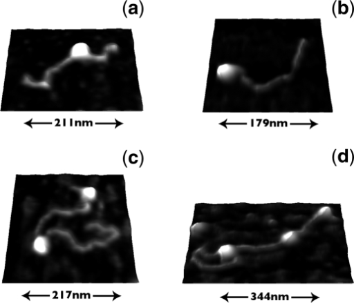 AFM images of EcoKI on single-sited DNA. Part (a) shows a specific EcoKI dimer on the 608-bp fragment, (b) shows a non-specifically bound EcoKI monomer on the 608-bp fragment, (c) shows one specific EcoKI dimer and one non-specific monomer on the 1499-bp fragment and (d) shows a specific EcoKI dimer forming a loop on a 1499-bp fragment which also contains two non-specific EcoKI monomers.