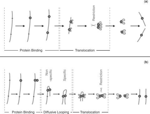 Diagrammatic representations of EcoKI binding, translocation and restriction on DNA. Part (a) shows the previous model. In this model EcoKI monomers individually bind to each site and translocation occurs independently from both occupied sites. When the monomers meet, translocation is stalled and restriction occurs. Part (b) shows a new model, which is based on the existing model but incorporates the additional information discovered in this paper and in (8,23). In this new model a monomer of EcoKI binds to one site and then a second monomer binds to the same site to form a dimerized complex at that site. This dimerized complex then forms diffusive loops with non-specific regions of DNA until it is stabilized by contact with the secondary EcoKI site. Translocation then occurs from both sides of both monomers and, in agreement with the previous model, restriction occurs when the translocation process is stalled (this time because the diffusive loop between the monomers becomes fully contracted). In the evidence presented here it remains unanswered whether translocation is triggered by the occupation of a secondary site or whether both processes occur concurrently. In both models DNA is represented as a line, specific EcoKI sites are represented by dots on the DNA molecules, and EcoKI monomers are represented as individual spherical objects.