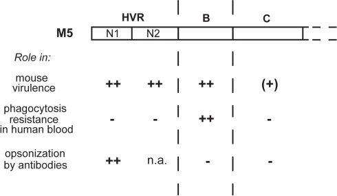 Properties of different regions in the M5 protein.This figure summarizes the role of different M5 regions in mouse virulence, phagocytosis resistance, and opsonization by antibodies. The data on mouse virulence are from this report, while the data on phagocytosis resistance and opsonization are from refs. [22] and [25]. Note that the phagocytosis and opsonization data are based on ex vivo assays. ++, major role; (+), very limited role; −, no role; n.a., not analyzed.