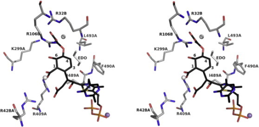 A model for the post-decarboxylation covalent adduct formed after ThDP C2 has reacted with α-ketoglutarate and then isochorismate. A stereoview into the active site with atoms colored as follows: C of ThDP, black; C of protein, gray; O, red; N, blue; P, orange; Mn2+, purple. The eight key residues discussed in the text are labeled. Two water molecules are depicted as gray spheres and ethane-1,2-diol is shown as gray sticks, labeled EDO.