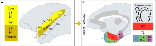 Direct auditory pathway to the medial temporal cortex. (A) Core and belt areas of the auditory cortex, shown in the lateral view of the primate brain, have dense and reciprocal connections. Belt areas have dense connections with parabelt areas, where the projection to the parahippocampal region originates, i.e. the direct pathway (B) The architectonic areas that comprise the parahippocampal region are shown in a medial view of the primate brain. Additional cortical areas that receive auditory input and project to the parahippocampal region are shown in gray, but they form part of the indirect pathway (see Figure 3 for further details). Connections between the parahippocampal region and the hippocampal formation are summarized on the right-hand side. See list of abbreviations.