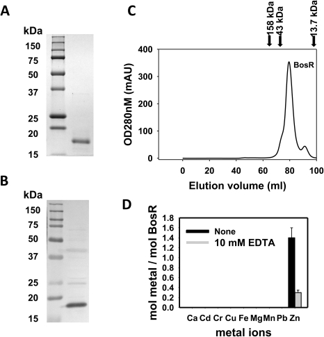 Analyses of purified recombinant BosR.(A) 12.5% (w/v) SDS–PAGE of purified recombinant BosR (right lane). Molecular masses are indicated in the left lane in kDa. (B) Native BosR in Bb cultivated in BSK-H at 37°C was probed with α-BosR. Right lane: molecular mass markers; left lane: Bb lysates. (C) Size exclusion chromatogram of purified BosR on a Superdex 200 column. Protein molecular mass standards used to calibrate the gel-filtration column are indicated by arrows (aldolase  = 158 kDa; ovalbumin  = 43 kDa; ribonuclease A  = 13.7 kDa). (D) Metal content analysis of recombinant BosR. Metal content was determined by ICP-AES.