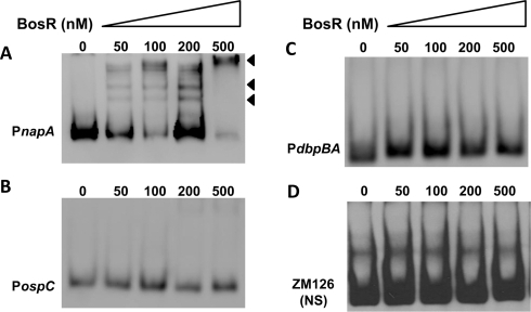 DNA-binding activity of recombinant BosR.BosR binds to the napA promoter (A, PnapA), but not to the promoters of ospC (B, PospC), dbpBA (C, PdbpBA), or probe ZM126 (D). 30 fmol of labeled DNA was incubated with various concentrations of BosR. NS, non-specific.