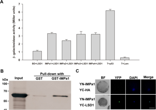"The NLS of PsLSD1 is involved in interacting with importin α.(A) PsLSD1 interacts with AtIMPα1, AtIMPα2, AtIMPα3, and AtIMPα1 in yeast. pGBK-AtIMPα1, pGBK-AtIMPα2, pGBK-AtIMPα3, pGBK-AtIMPα4, and pGBKT7 were co-transformed with pGAD-PsLSD1 into yeast AH109 respectively, and β-galactosidase activity of the resulting clones was measured. ""T+p53"" and ""T+Lam"" are positive and negative controls for the yeast two-hybrid assay, respectively. (B) PsLSD1 directly binds to AtIMPα1 in vitro. Purified MBP-PsLSD1 was incubated with GST or GST-AtIMPα1 bound to glutathione particles. Pulled-down proteins and ""Input"" sample (purified MBP-PsLSD1) were detected by Western blot using an anti-MBP polyclonal antibody. (C) PsLSD1 interacts with AtIMPα1 in vivo. YN-AtIMPa1 was co-transfected with YC and YC-PsLSD1 into Arabidopsis mesophyll protoplasts, respectively, and samples were stained with DAPI to indicate positions of nuclei. Fluorescent images were taken at 12–16 h after transfection. Each protoplast shown is a representative of at least twenty protoplasts in two independent experiments. BF indicates Bright Field, and scale bar is 20 µm."