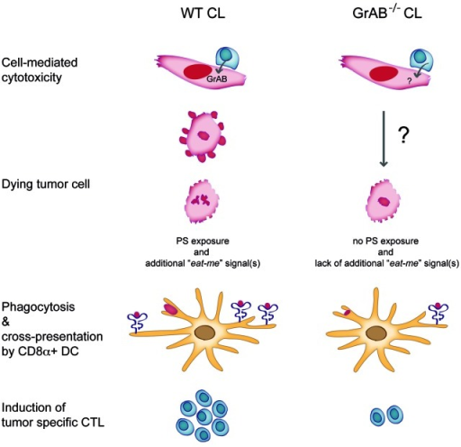 "Figure 1. Cell-mediated killing of tumor cells by wild-type cytotoxic lymphocytes (WT CL) via granzymes A and B (GrAB) results in the exposure of yet unknown pro-phagocytic ""eat-me"" signals in addition to phosphatidlyserine exposure (PS). The CD8α+ DC engulf dying tumor cells and cross-present tumor antigen to naïve cytotoxic T lymphocytes (CTL), inducing in turn an adaptive immune response against the tumor. However, tumor cell death in the absence of GrAB (GrAB−/− CL) lacks PS exposure and other pro-phagocytic ""eat-me"" signals leading to reduced phagocytosis, cross-presentation and subsequent induction of tumor specific CTL."