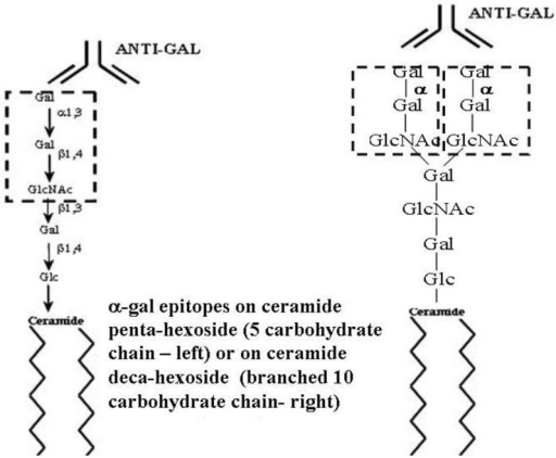 Ceramide pentahexoside (CPH) (left) and ceramide decahexoside (CDecaH) (right) as representative α-gal glycolipids. CPH is the most abundant glycolipid in rabbit RBC and is presented as a schematic α-gal glycolipid with five carbohydrates. CDecaH is a glycolipid with 10 carbohydrate branched chain. α-gal epitopes (Galα1-3Galβ1-4GlcNAc-R) are marked by the broken line rectangles. The terminal α-galactosyl (Gal) is linked α1,3 to the penultimate Gal of the carbohydrate chain by the glycosylation enzyme α1,3galactosyltransferase (α1,3GT). The carbohydrate chain is linked to the lipid portion (ceramide) embedded in the cell membrane via the two fatty acid tails. Anti-Gal binding to α-gal epitopes is presented as schematic IgG molecules. α-gal glycolipids in rabbit RBC (with the exception of ceramide heptahexoside) increase in size in increments of five carbohydrates, each forming an additional branch that is capped by α-gal epitopes.