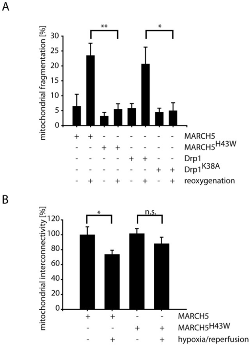 Mitochondrial fragmentation following hypoxia-reoxygenation is ameliorated by inactivation of MARCH5 or Drp1.(A) Differentiated RGC5 cells expressing MARCH5YFP, MARCH5H43W-YFP, Drp1YFP or Drp1K38A–YFP were cultured in the presence of low oxygen (1%) for 24 hours followed by normoxia for 2 hours. Mitochondrial fragmentation was analyzed following cytochrome c staining in three independent experiments (>200 cell counted/condition). Error bars represent SEM, p-Values for Student's t-test are marked with * (p<0.05) or ** (p<0.01). (B) RGC5 cells expressing MARCH5 or MARCH5H43W and PAGFP were stressed using hypoxia-reoxygenation and mitochondrial interconnectivity was assessed by measuring PAGFP diffusion following photoactivation. Analyzed were 20 cells/condition with error bars representing SEM and ** marking p<0.01 and n.s. marking p>0.05 (Student's t-test).